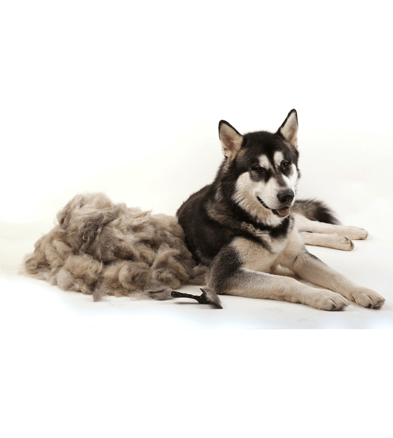Husky Next To Pile Of Fur